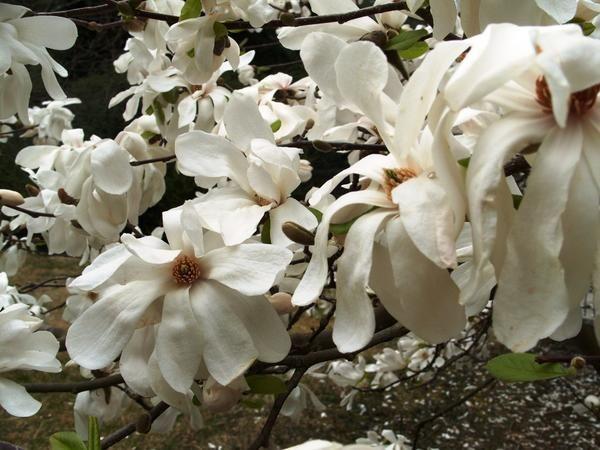 Magnolia cvet v oznanjenja