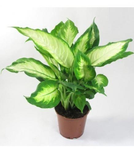 Растение дифенбахия комнатная в уходе