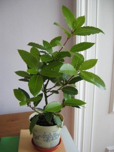 Растение лавр благородный