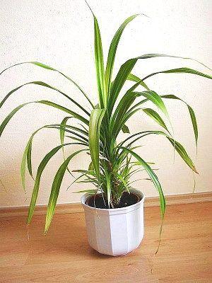 Растение панданус: внешний вид, схожесть и уход