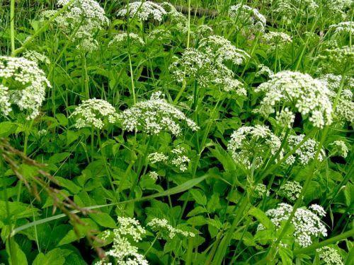 Растение сныть: состав, применение в народной медицине