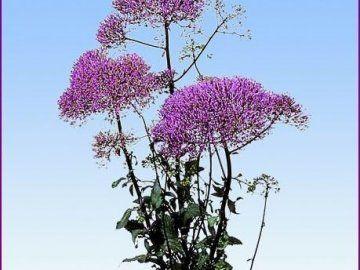 Растение трахелиум в доме