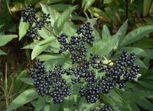 Растения дикой флоры, используемые в народной медицине при лечении простудных заболеваний