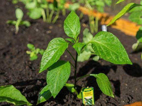 Растения инсектициды как метод борьбы с вредителями
