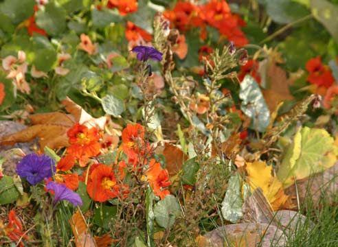 Настурция, цветение