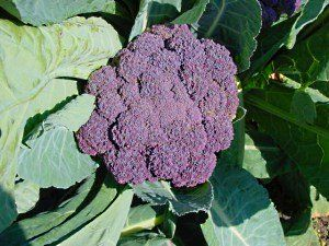 vijolična brokoli