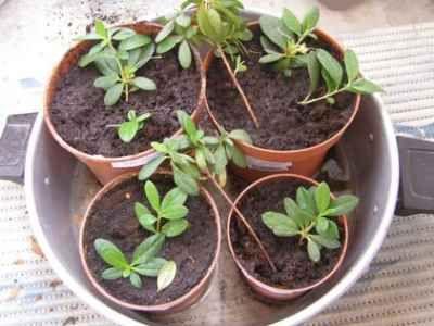 Reprodukcija azaleje doma