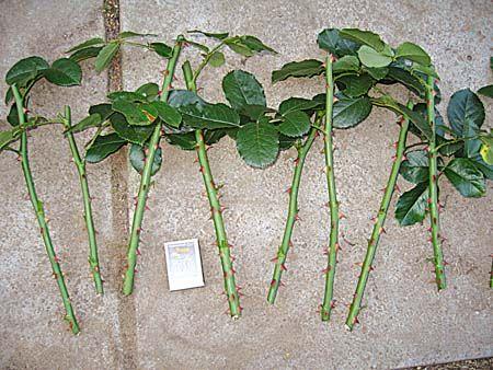Množení řízkováním Popínavé růže