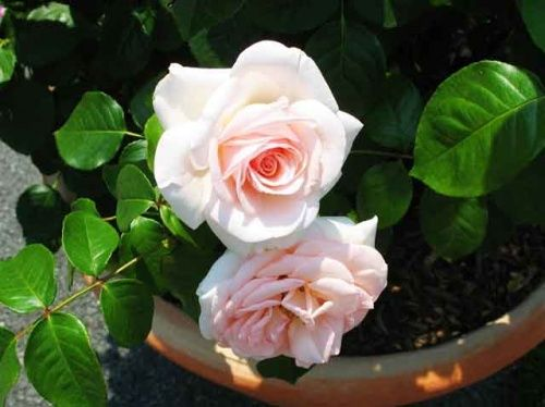Razmnoževanje s potaknjenci vrtnic