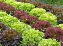 Različne solate v vašem vrtu - priporoča sorte