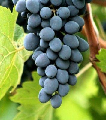 raznostoronnij-sort-vinograda-171-moldova-187_1.jpg