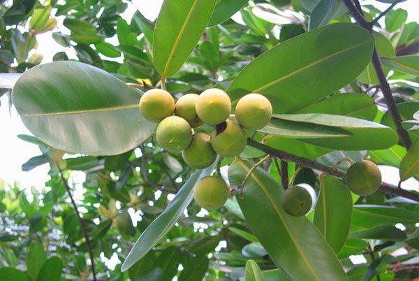 Плоды и листья фикуса каучуконосного