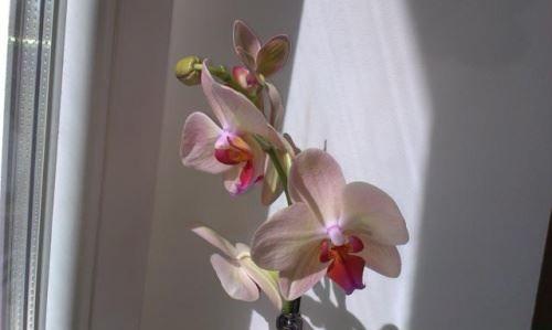 Реанимация орхидеи после обморожения и солнечного ожога