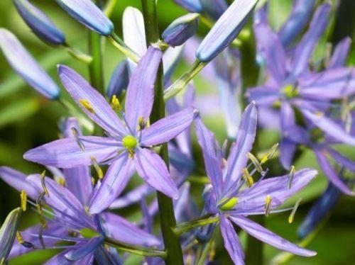 Camassa - modre rože lilije