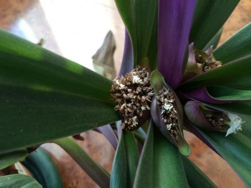 Рео – как ухаживать за цветком в домашних условиях