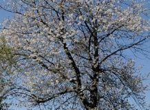 Rod Prunus L.