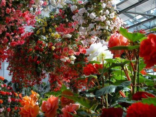 Родина бегонии - тропический лес, но и мы можем украшать ею своё жилище