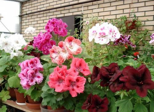 Выращивание пеларгонии, особенности