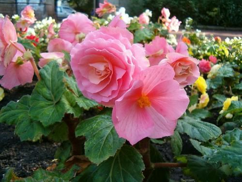 Родина растения бегония и особенности ухода за цветком