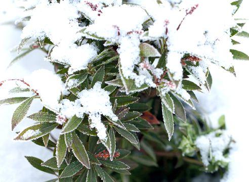 рододендрон зима