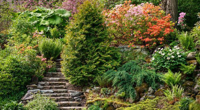 рододендроны в саду, хвойные растения в саду, альпинарий