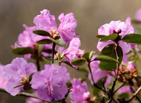 Рододендрон, цветение, Rhododendron