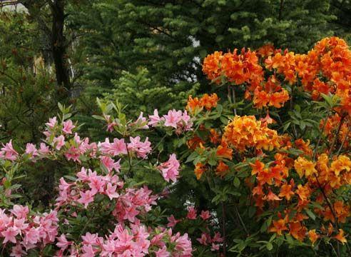 Рододендрон, Rhododendron