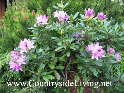 Рододендрон понтийский лиловый в моем саду (Rhododendron ponticum)