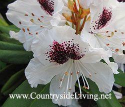 Рододендрон белый в моем саду