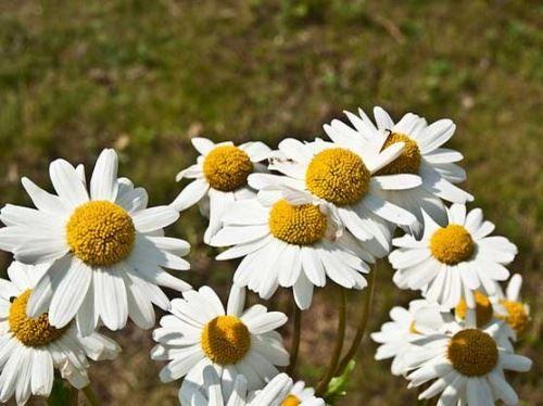 Ромашки - цветы луговые