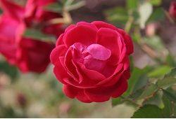 Роскошные розы в комнатных условиях: забота и проблемы выращивания