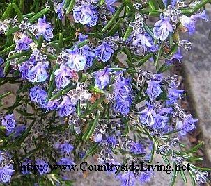 Розмарин цветущий в моем саду, март