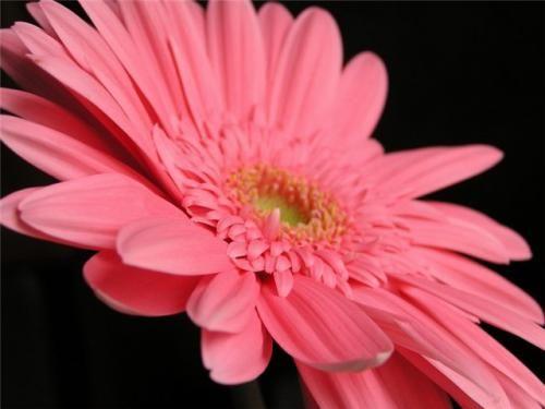 Розовая гербера - начало домашнему саду