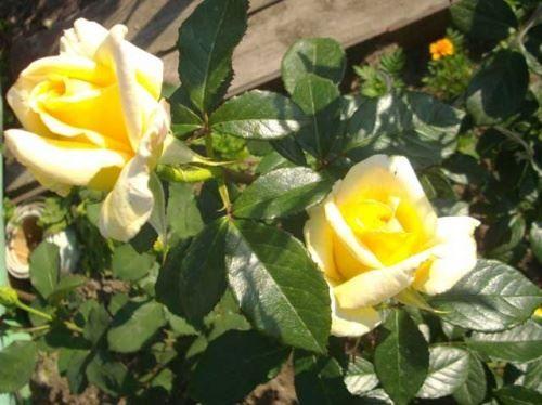 Розы кустовые и мой уход за ними