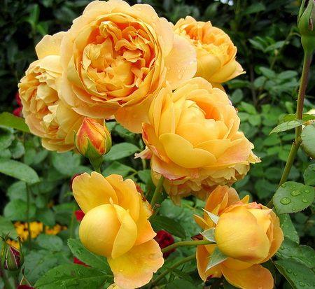 Rose Lily shranjevanje