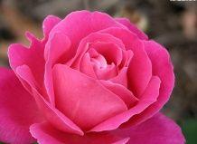 Roses proti skalioz