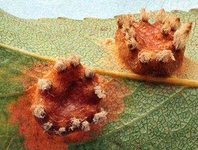 Ржавчина на груше чем лечить
