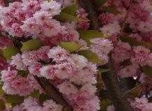 Sakura «Kanzan»
