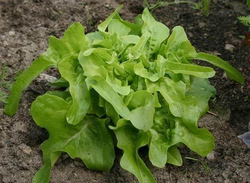 Solata leaf, Lactuca sativa