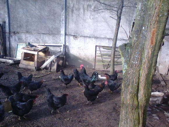 черная московская курица