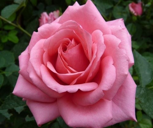 Секреты пышного цветения розы