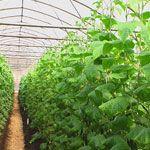 Шпинат: особенности выращивания из семян уход посев любимые сорта