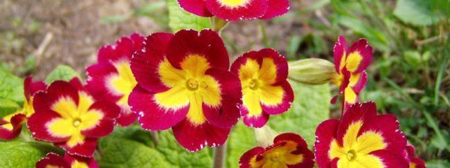 razmnoževanje jeglič seme: