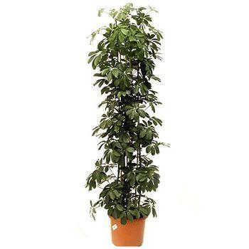 Шефлера: сорта шефлеры, условия выращивания шефлеры, размножение