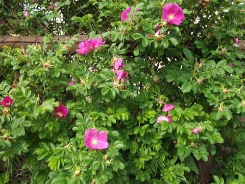 Шиповник майский, его особенности и полезные свойства