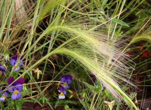 Растение семейства Злаковые