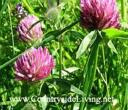 Клевер луговой - зеленое удобрение, сидерат