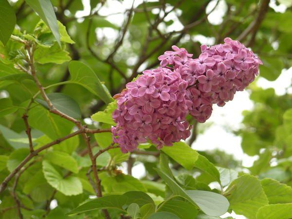 Lilac: vrste, sorte, še posebej narašča