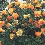 Sirski hibiskus (dvorišče)