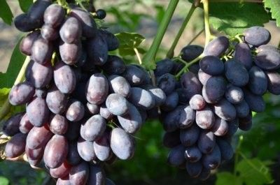 Виноград каталония описание сорта фото